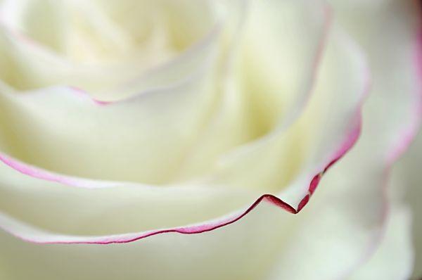 Rose (2/5)