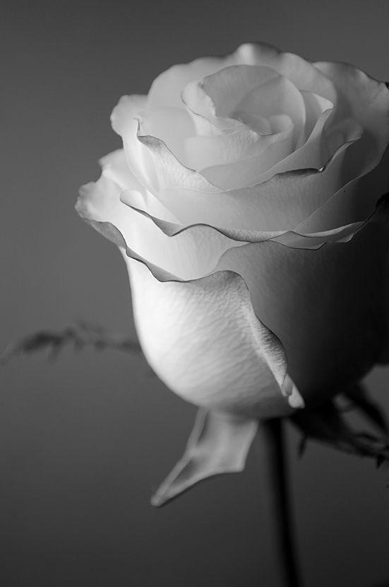 Rose (3/5)