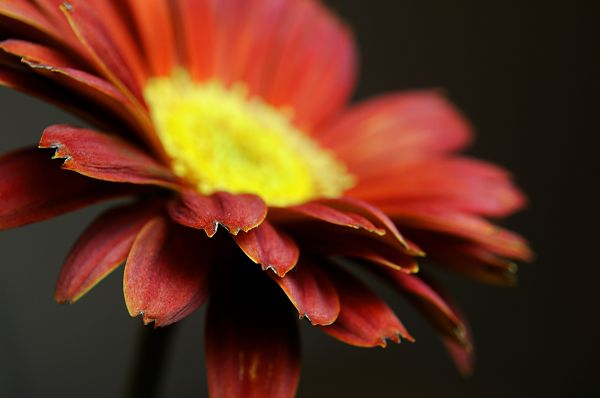 Gerbera Daisy - Part Two (2/4)