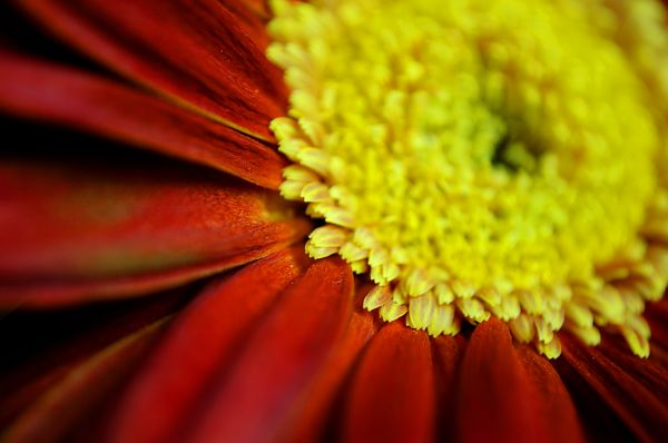 Gerbera Daisy - Part Two (4/4)