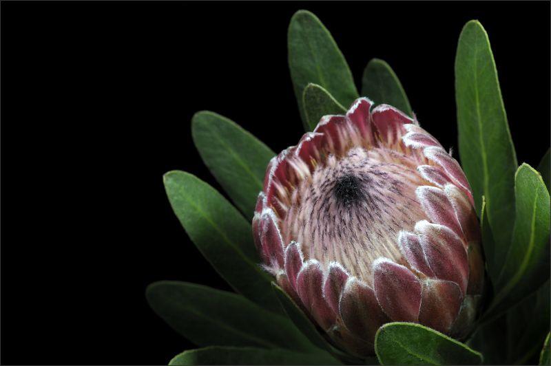 Pink Mink Protea (1/4)