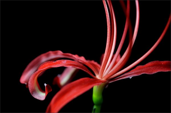 Red Spider Lily (3/5)