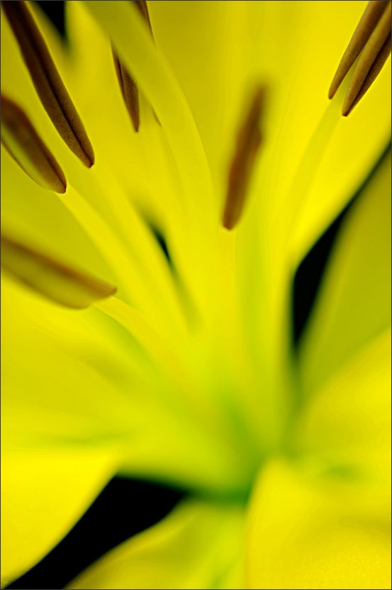 Yellow Lily Abstract (2/4)