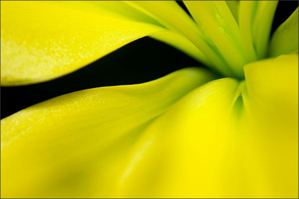 Yellow Lily Abstract (4/4)