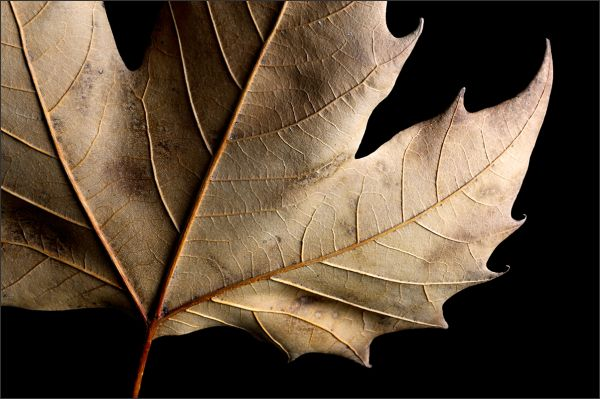 Dead Leaf (1/2)