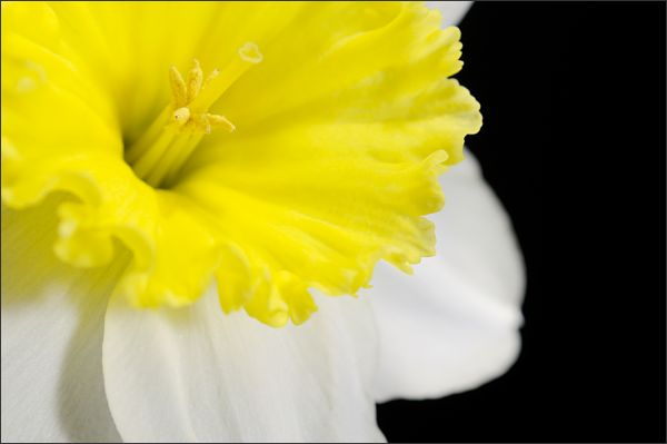 More Daffodils! (1/3)