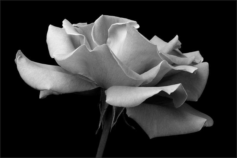 Garden Rose (3/3)
