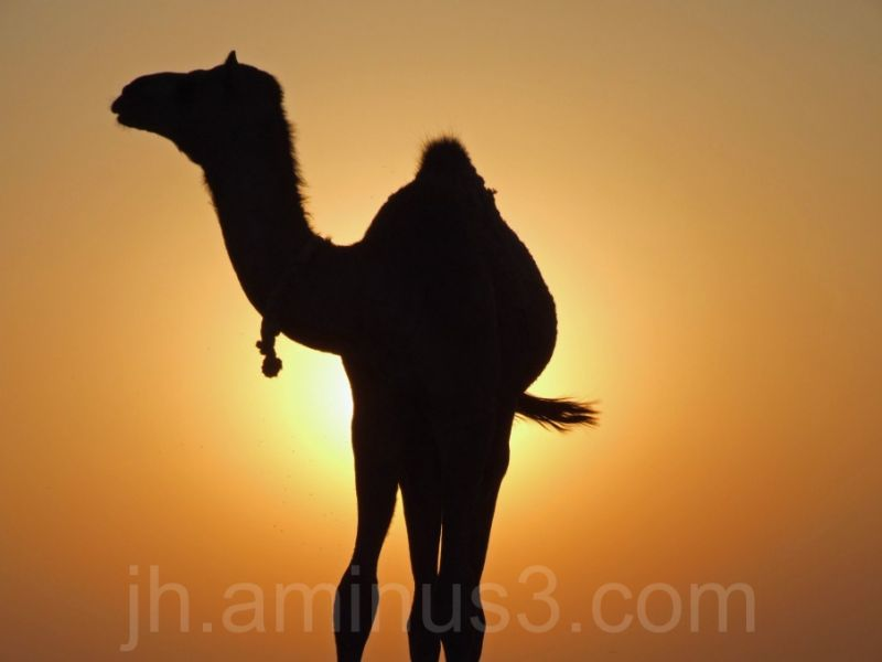 Camel silhouetted in sunset
