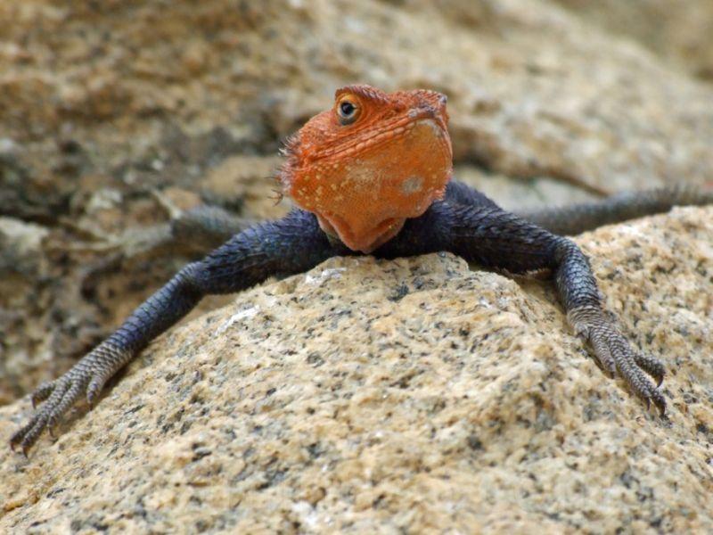 orange headed lizzard on rock