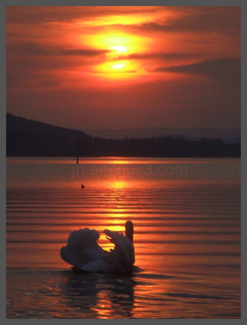 Swan in sunset