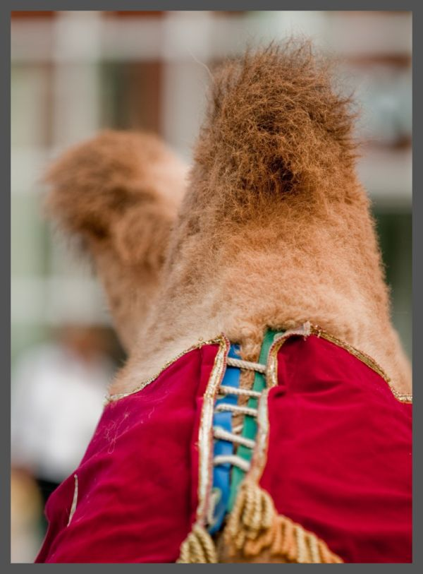 Camel from behind