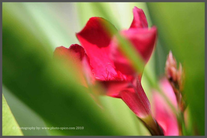 Oleander blossom