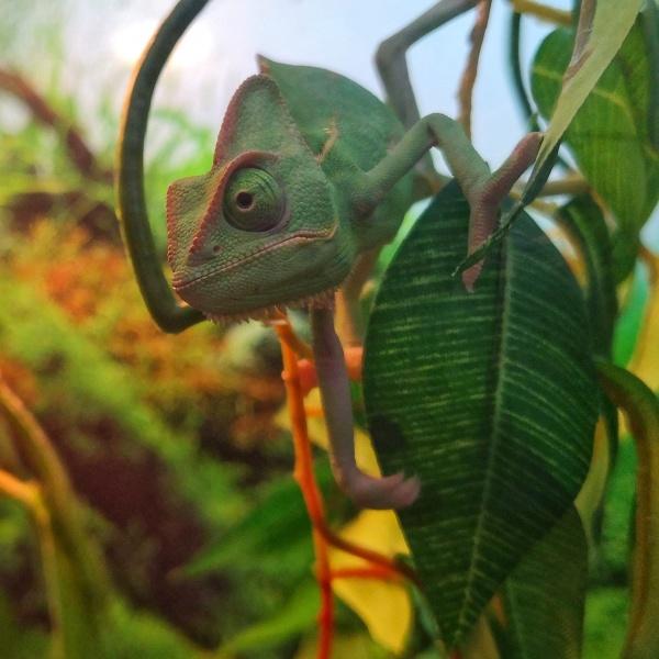 Mr Chameleon