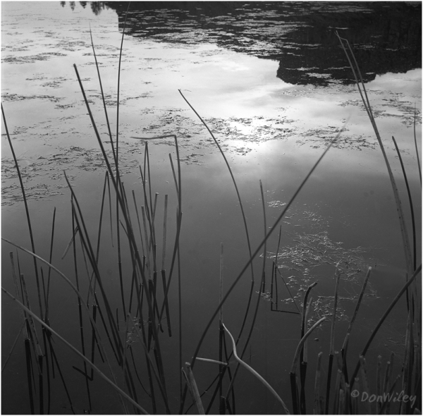 Reeds and reflection in a pool.