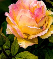 Rose on Rose Hill
