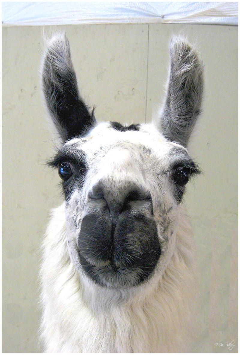 Llama's Curiosity