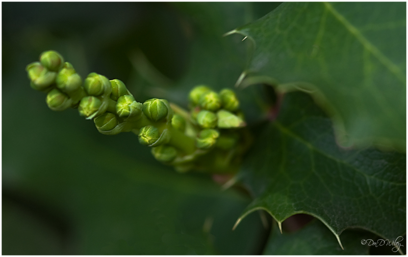Holly buds
