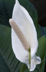 White Skunk Cabbage or may be a Peace Lily