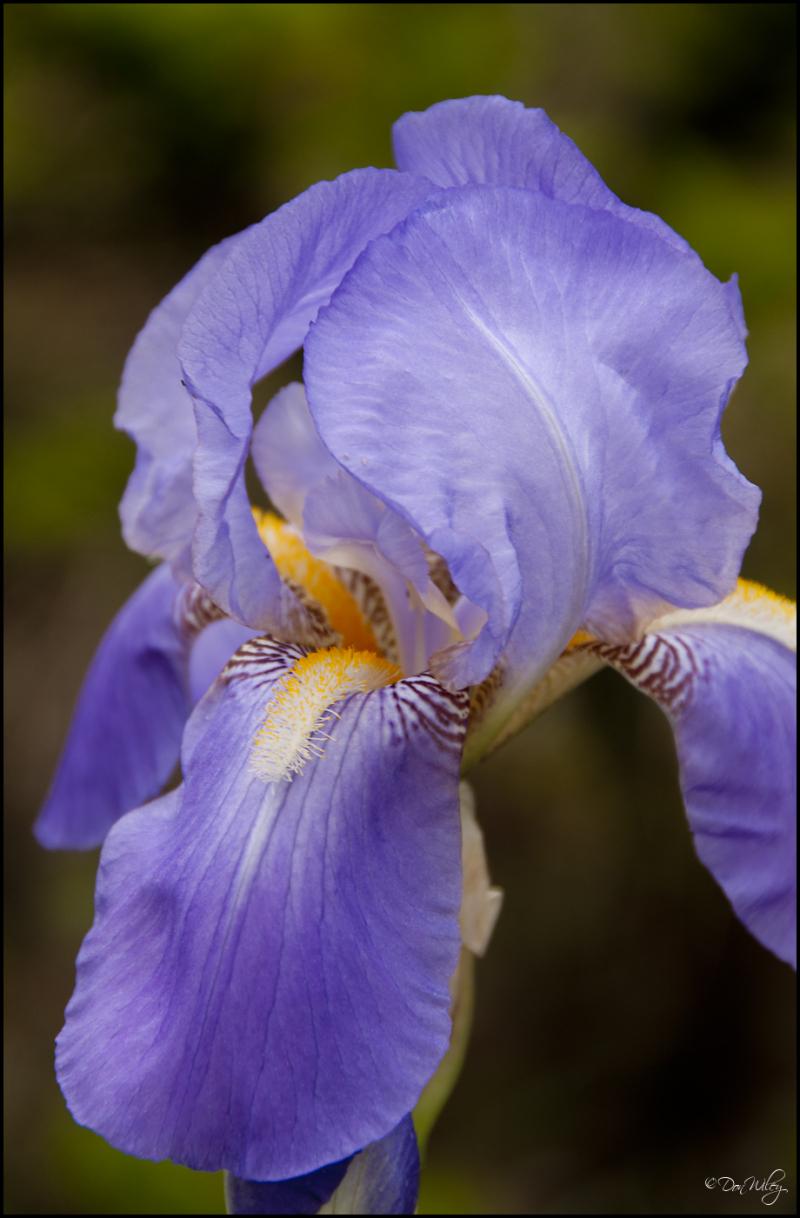 Donna's Iris
