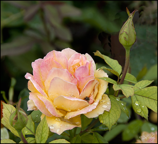 A Rose on Rose Hill