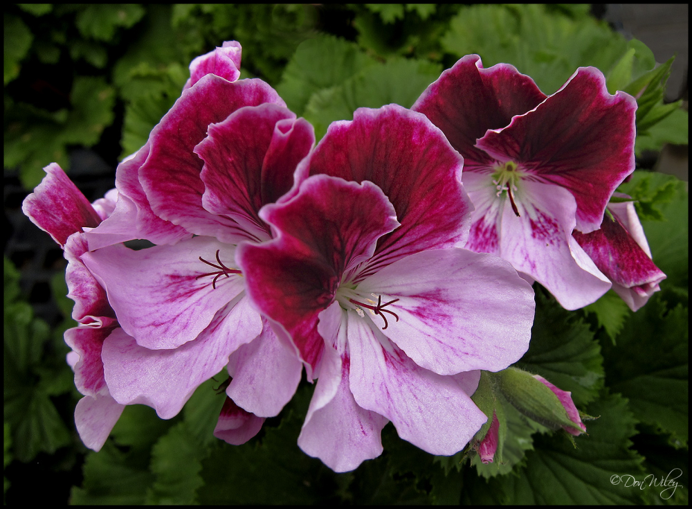 pelargonium geranium