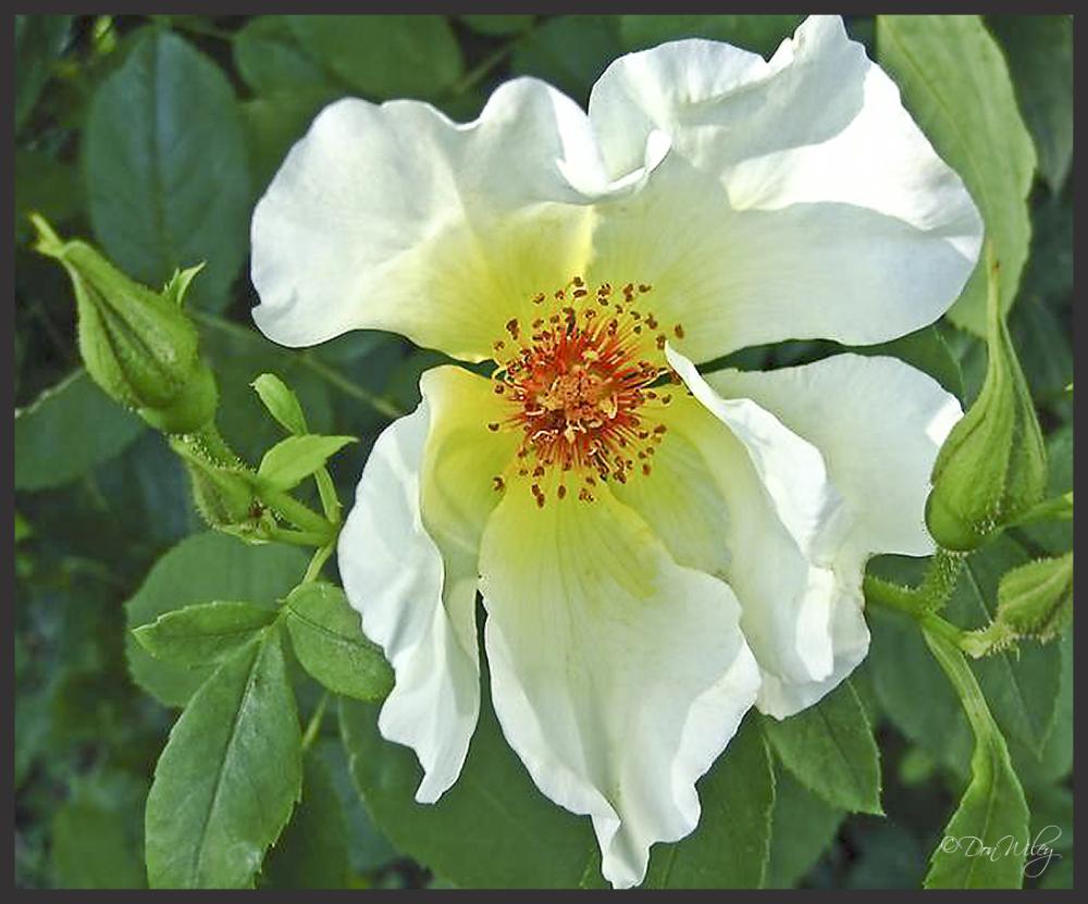 Dog Rose or Prim Rose