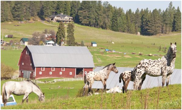 Spotted Appalosas' Barn