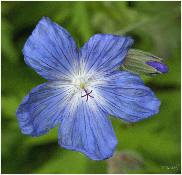 Johnson Blue