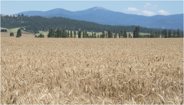 A wheat field ready for harvest