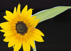 Salina's Sunflower