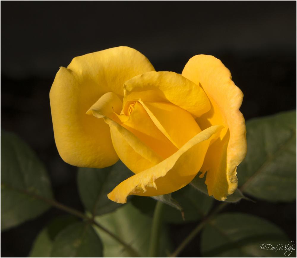 Late Yellow Rose
