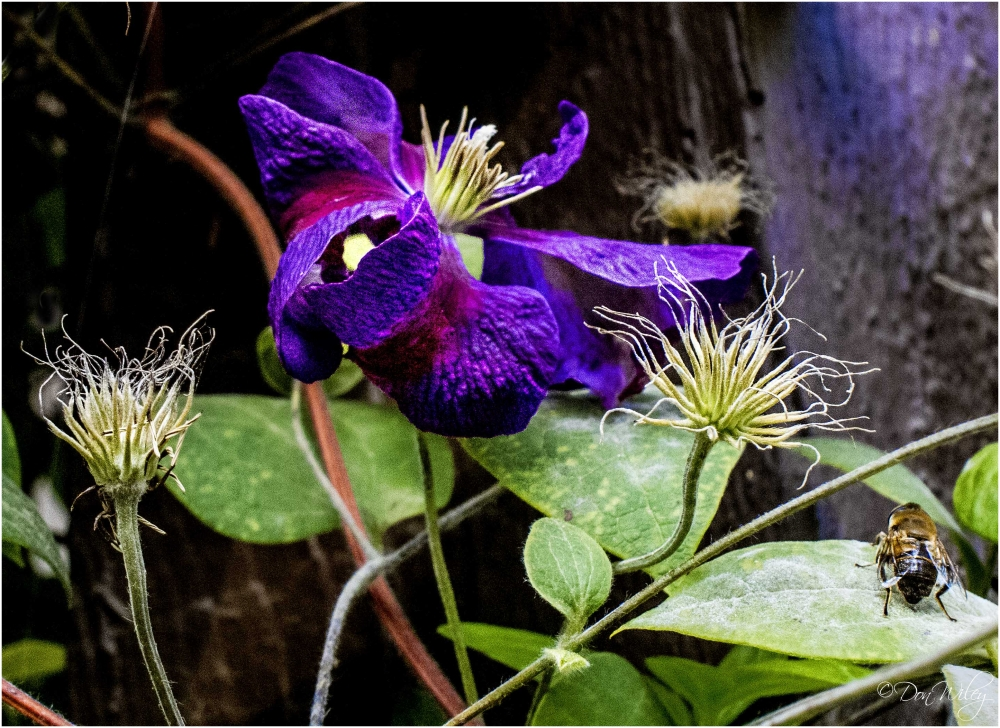 A Very Late Clematis Etoile Violette