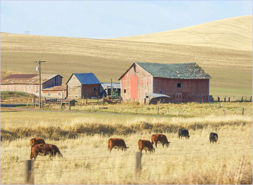 Cows and out buildings