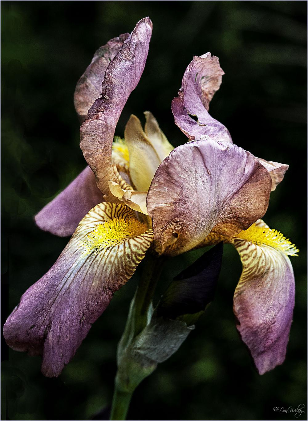 Brownish Iris