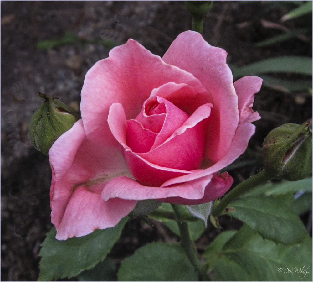 A Recent Rose