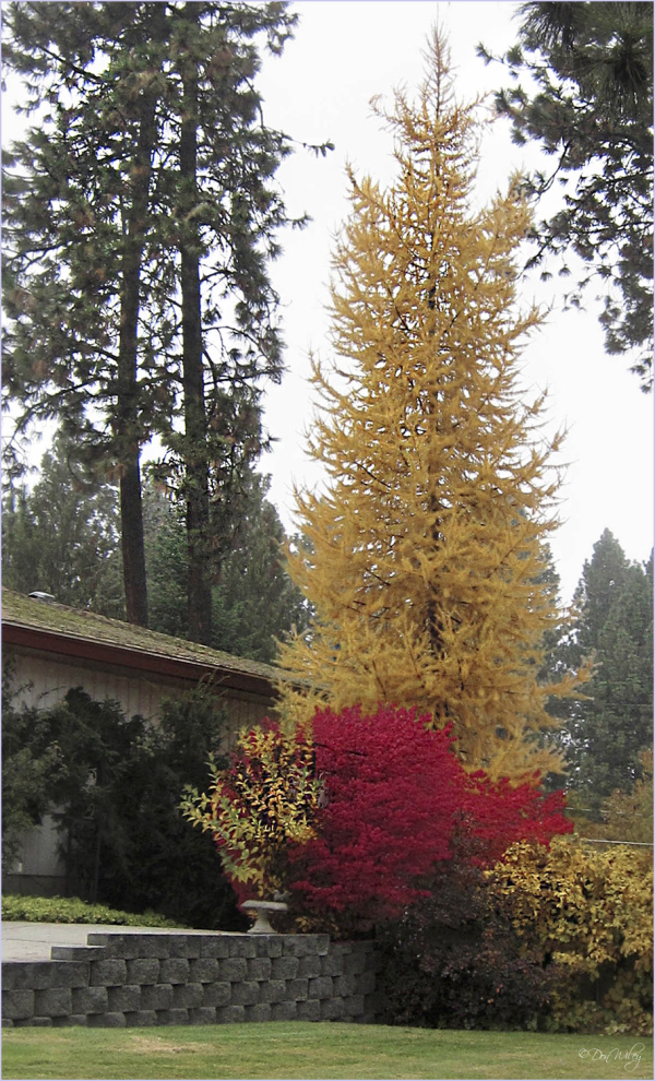North American Larch tree