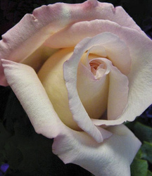 There is nothing like a rose