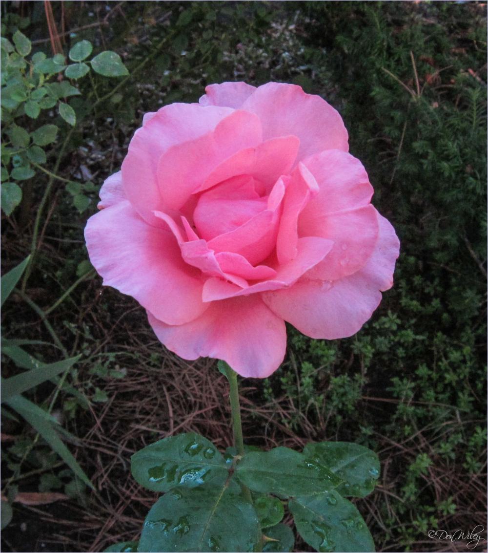 Rainy Day Rose