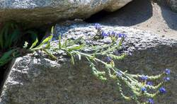 Bugloss - A Pretty, but Noxious Weed