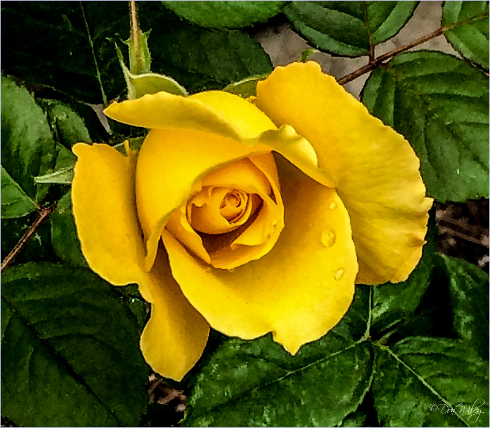 Yellow with Fragrance?