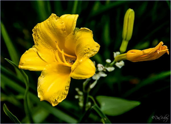Day Lily?