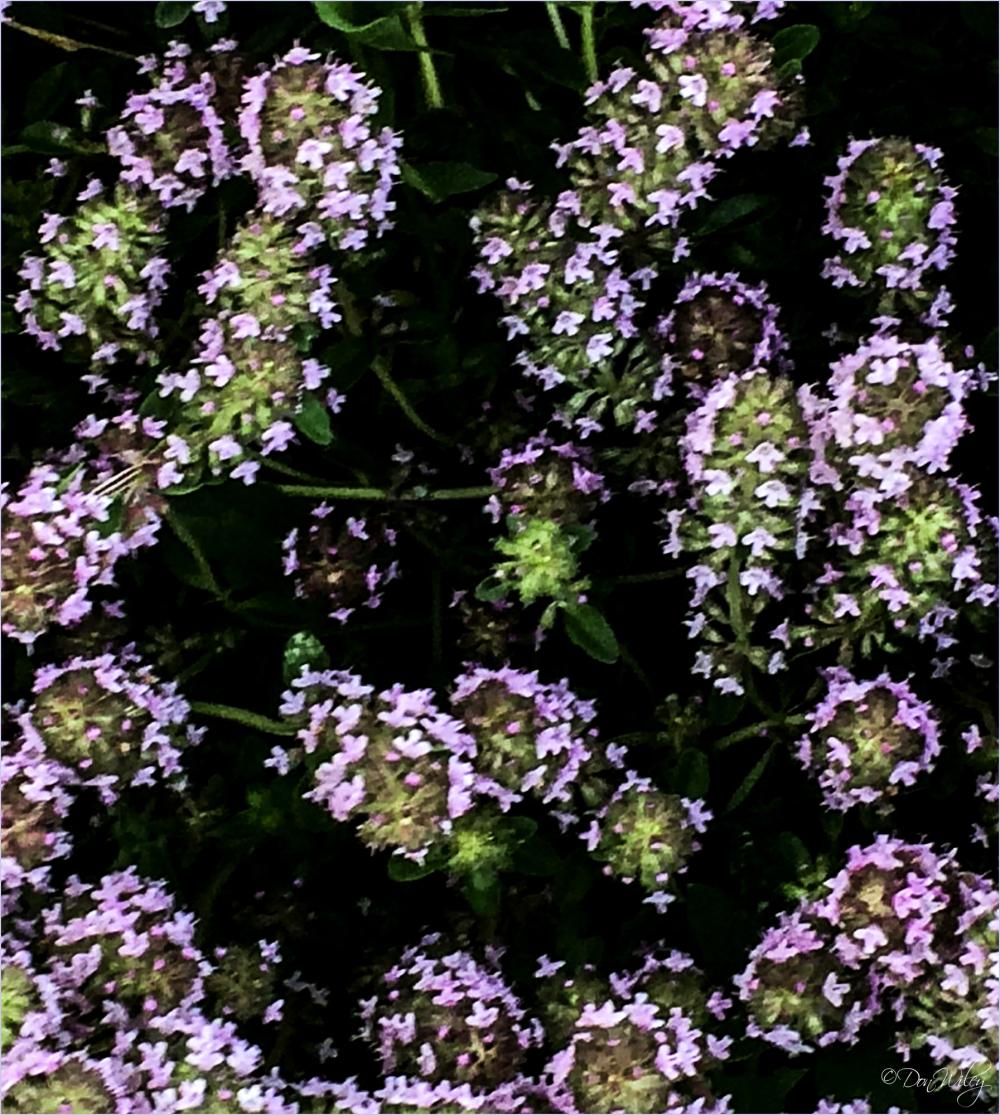 Mona Lavenders
