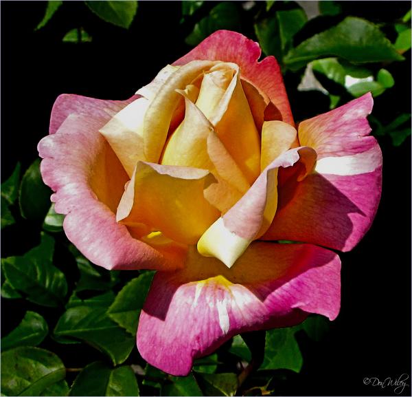 Nursery Rose