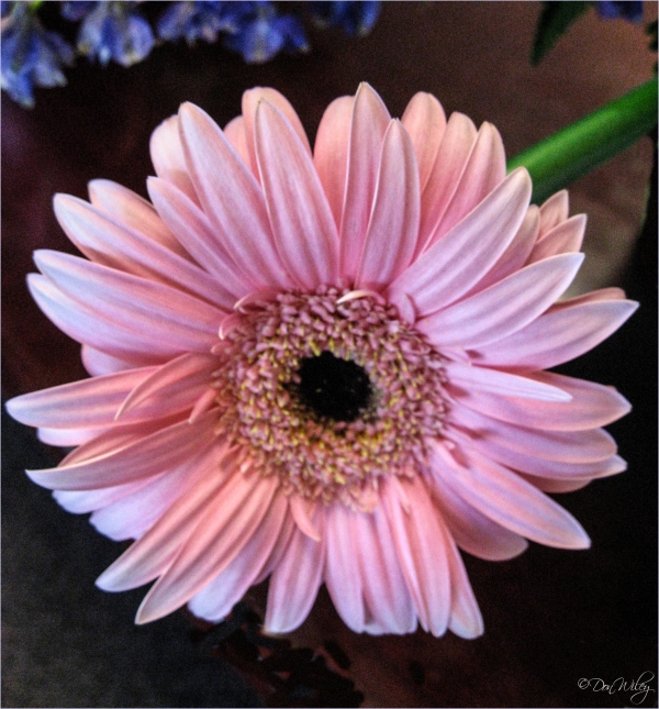 Pink (Gerbera Daisy)