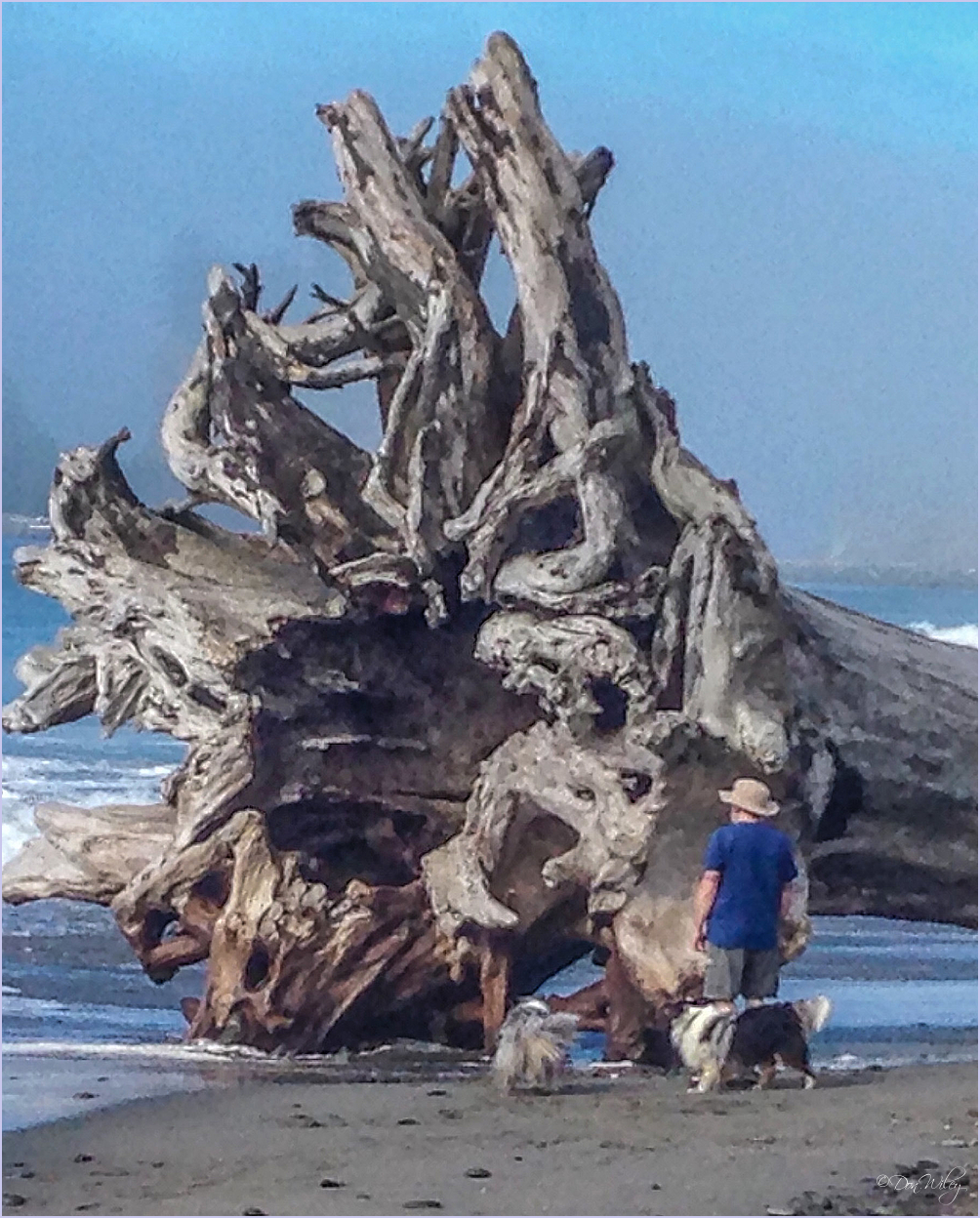 Drift Wood Stump