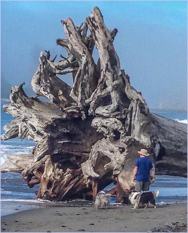 Drift Wood Stump