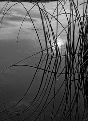 Reeds and Reflection