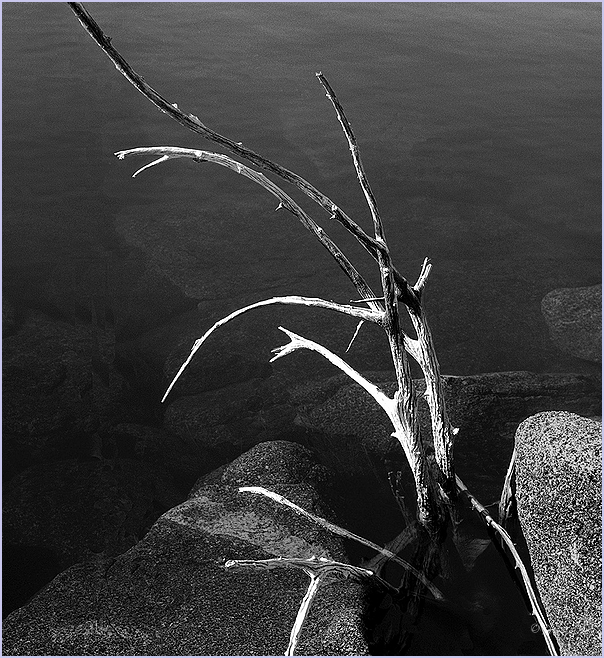 Calcified Branch