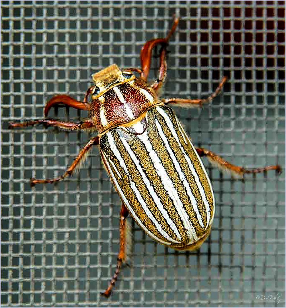 Name this bug.