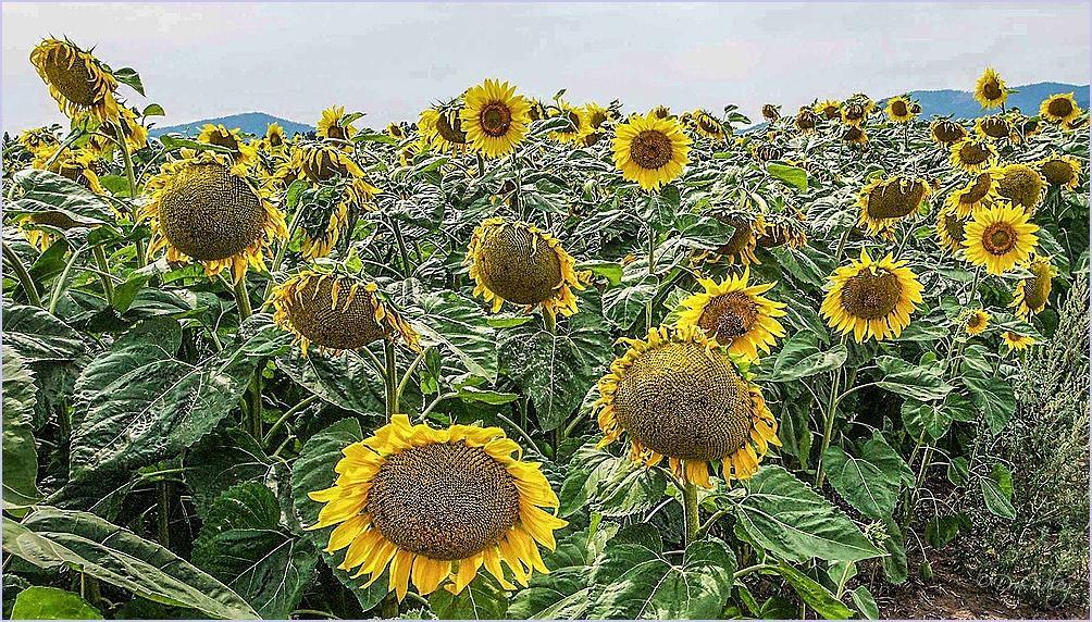 Sunflower Faces